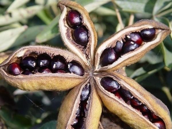 Семенное размножение пионов