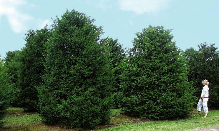 Шаровидный тис - фото дерева и описание