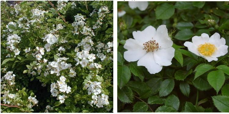Сорт роз айшир с фото и описанием, каталог
