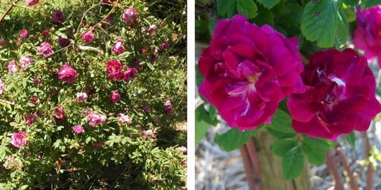 Сорт роз амадис с фото и описанием, каталог