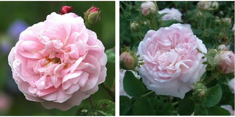 Сорта роз бель изис с фото и описанием, каталог