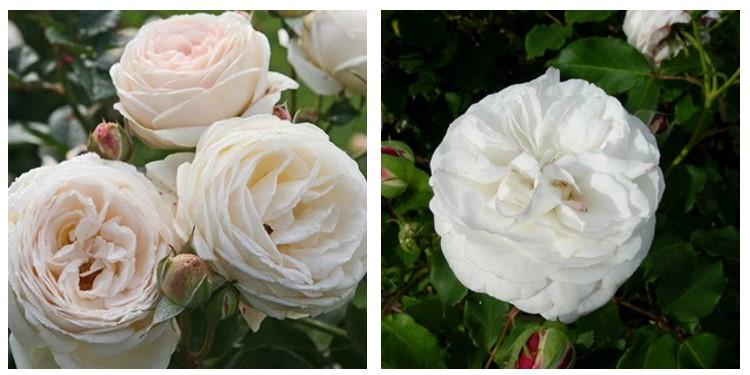 Сорт роз буль де неж с фото и описанием, каталог