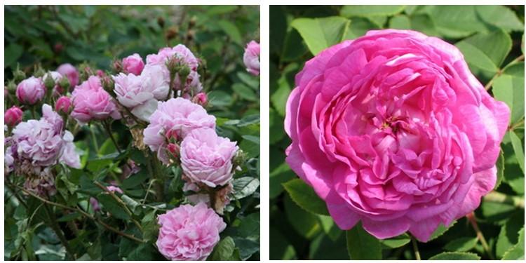 Сорт роз центифолия мускоза с фото и описанием, каталог