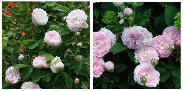 Сорт роз дючес д'ангулем с фото и описанием, каталог
