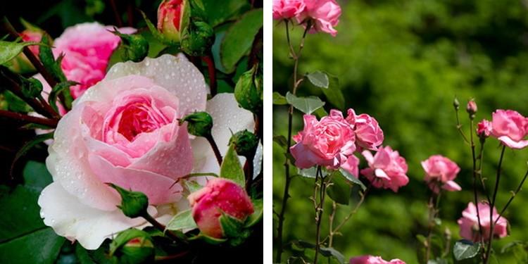 Сорт роз хлорис с фото и описанием, каталог