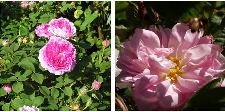 Сорт роз йорк-энд-ланкастер с фото и описанием, каталог
