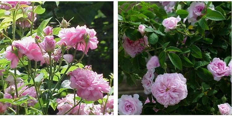 Сорт роз исфахан с фото и описанием, каталог