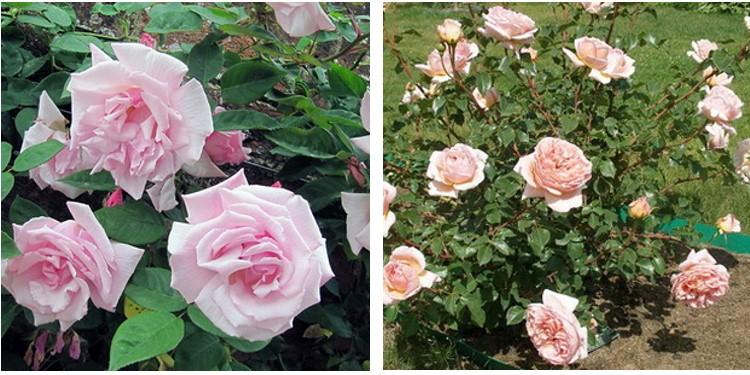 Сорта роз камей с фото и описанием, каталог