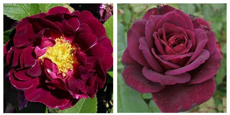 Сорт роз кардинал де ришелье с фото и описанием, каталог