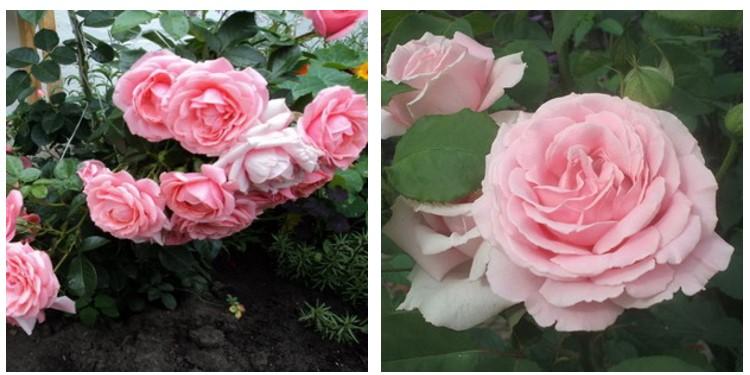 Сорт роз киска с фото и описанием, каталог
