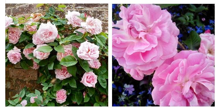 Сорт роз мадам санси де парабер с фото и описанием, каталог