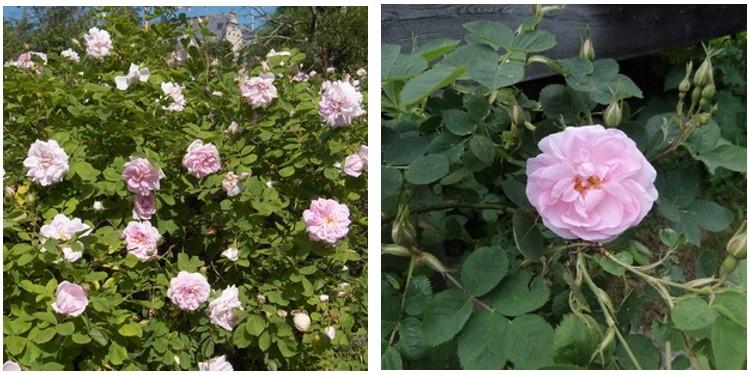Сорт роз минден с фото и описанием, каталог