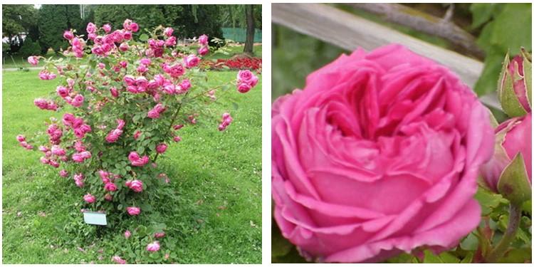 Сорт роз прекрасная любовь с фото и описанием, каталог