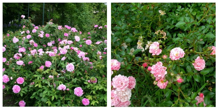 Сорт роз шипо де наполеон с фото и описанием, каталог