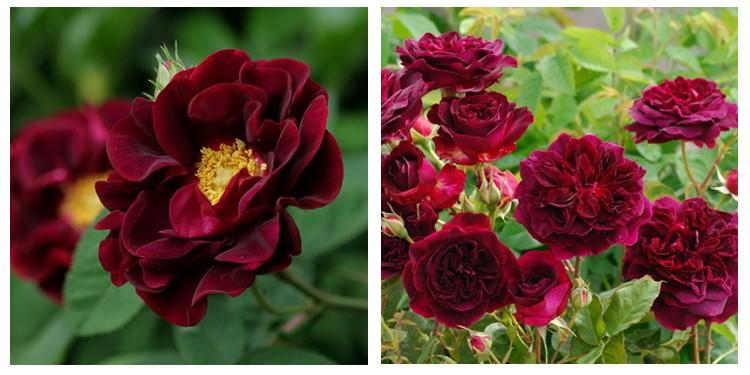 Сорт роз тоскани супер с фото и описанием, каталог