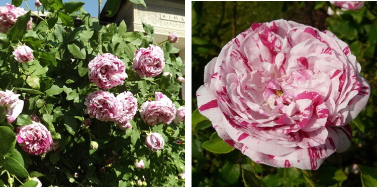 Сорт роз варьигата ди болонья с фото и описанием, каталог