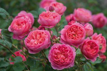 Сорта роз с фото и описанием: каталог, срезка