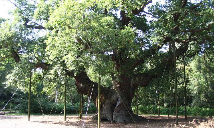 Тис - дерево, его фото и описание