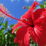 Виды китайской розы: фото и названия, описания различных сортов