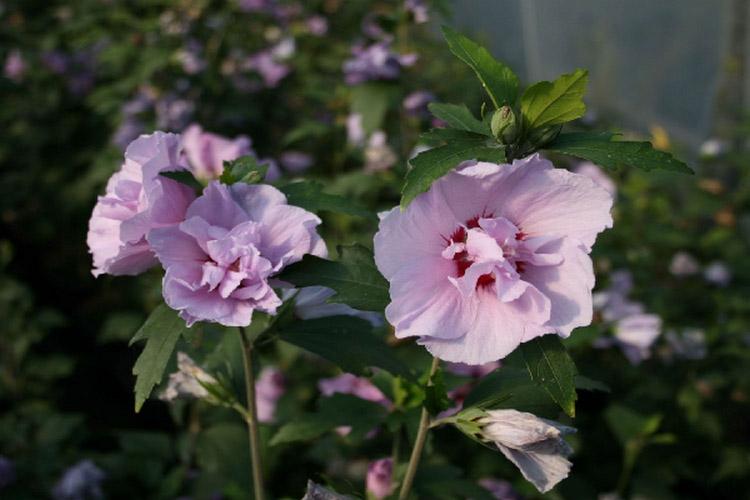 Виды китайской розы: фото и названия (гибискус сирийский арденс)