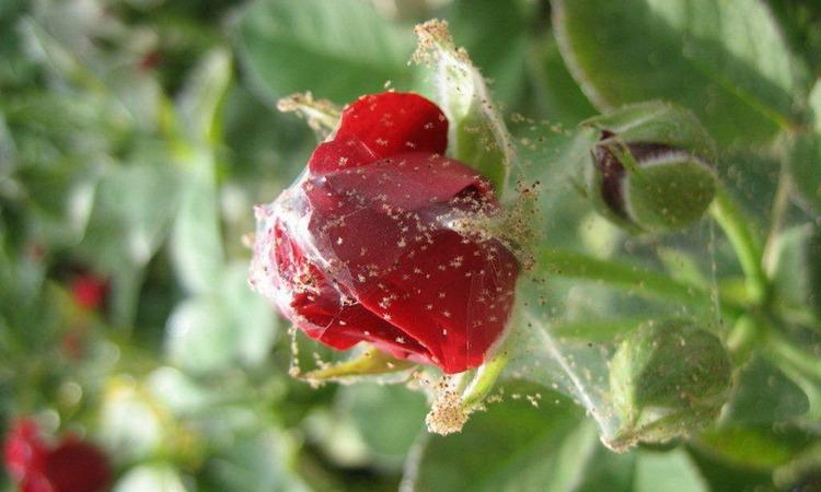 Вредители и болезни роз и борьба с ними