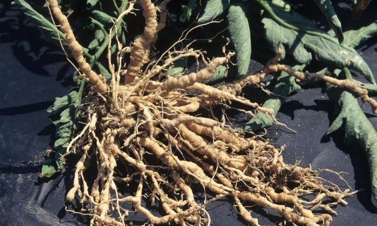 Вредители комнатных растений галловые нематоды - меры борьбы с ними