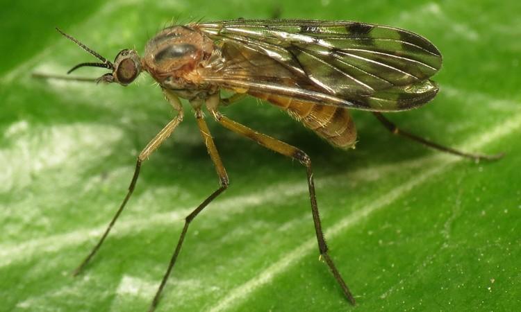 Вредители комнатных растений грибные комары - меры борьбы с ними