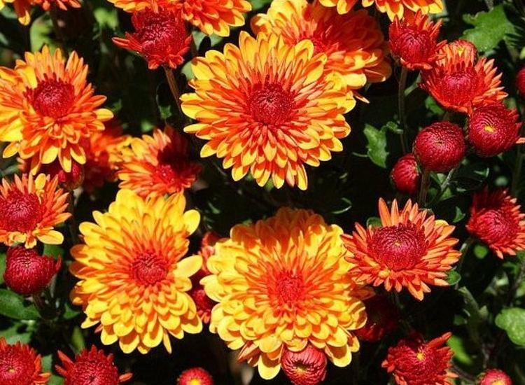 Альтгольд - хризантемы корейские многолетние зимостойкие