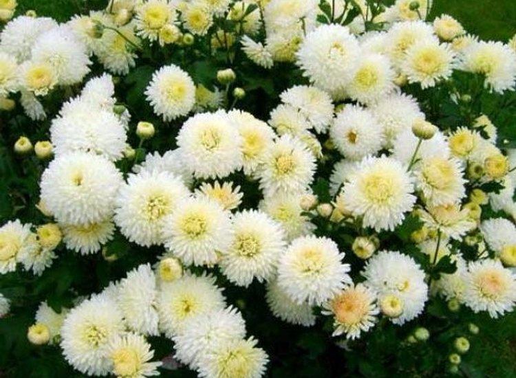Белые хризантемы корейские многолетние зимостойкие