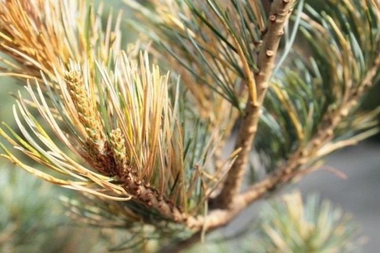 Болезни хвойных деревьев и их лечение