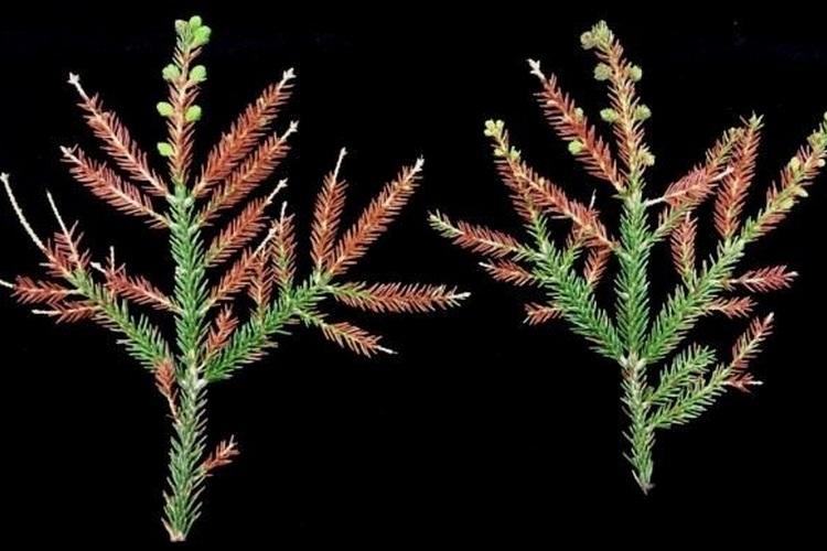 Болезни хвойных растений и борьба с ними, фото