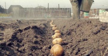 Борьба с проволочником картофеля осенью