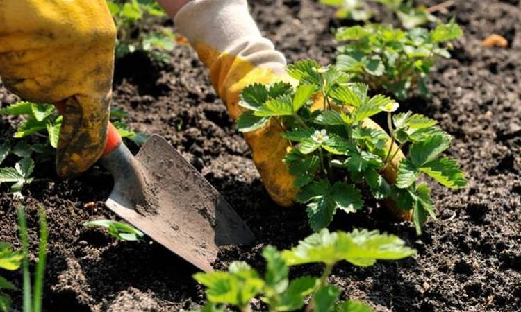 Чем обработать клубнику от клеща осенью