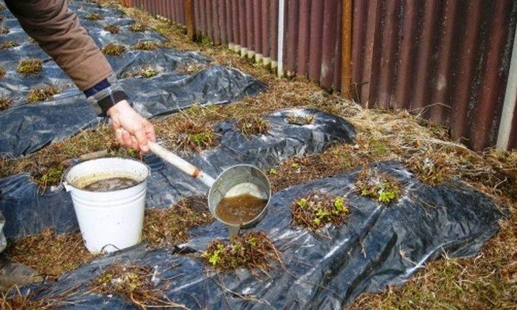 Чем опрыскать клубнику осенью