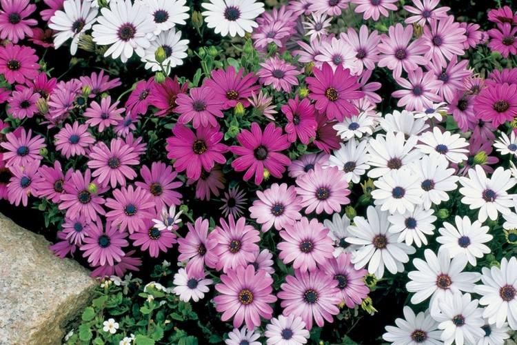 Цветы остеоспермум пэшн - выращивание, фото