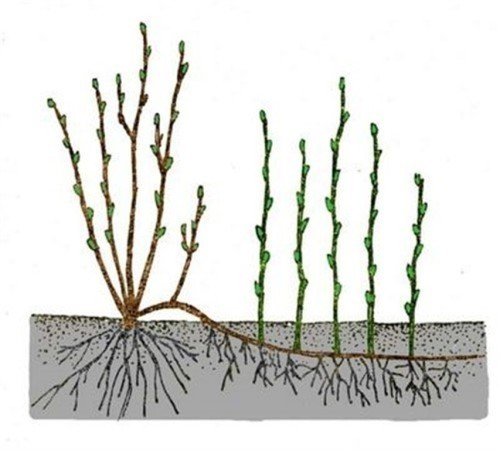 Хризантемы корейские многолетние зимостойкие - на фото размножение отводками