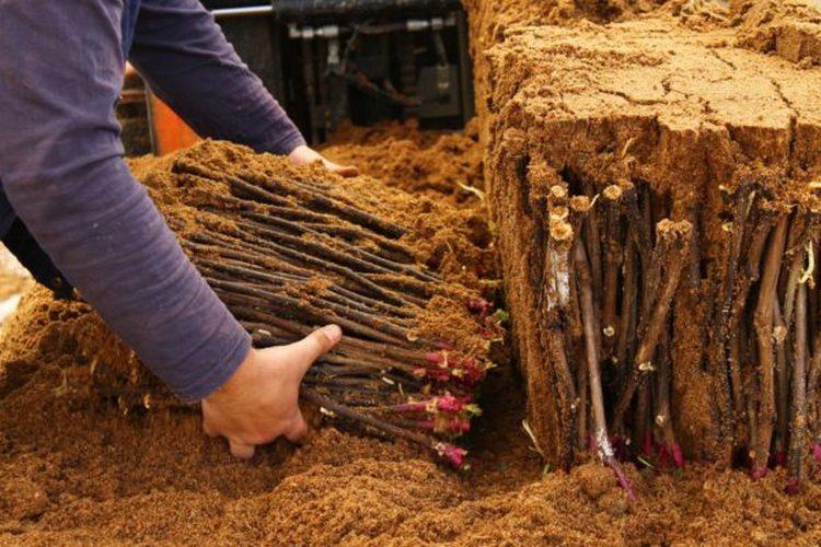 Как хранить черенки винограда до весны в песке