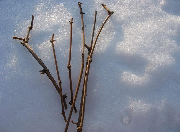 Как хранить черенки винограда до весны в снегу