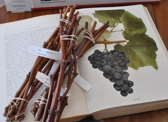 Как правильно посадить виноград осенью черенками
