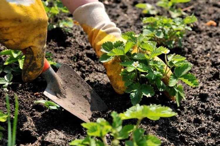 Как правильно сажать клубнику осенью в открытый грунт