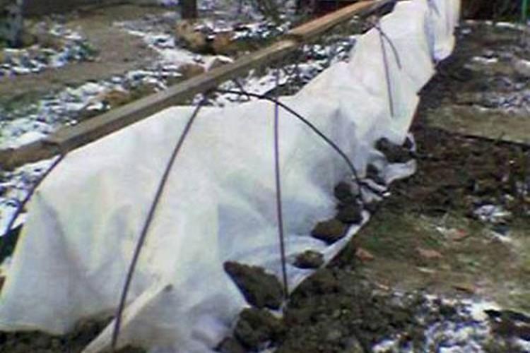 Керрия японская махровая: посадка и уход, фото