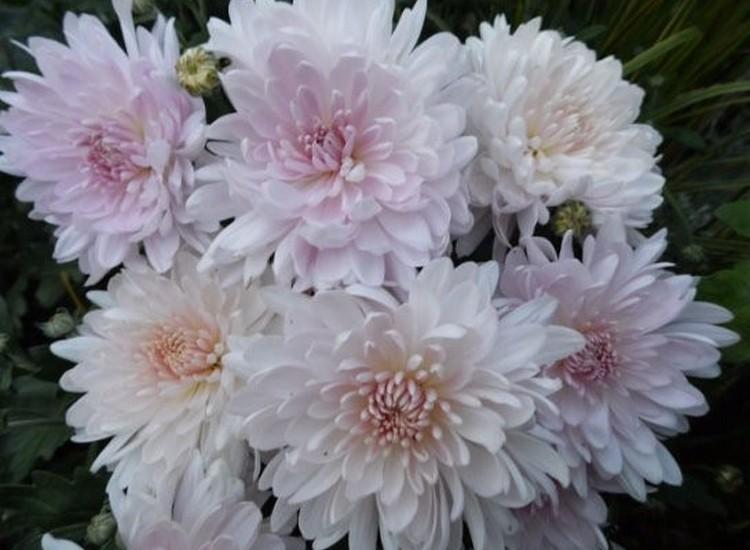 Корейские зимостойкие хризантемы сорта яблочный цвет - описание