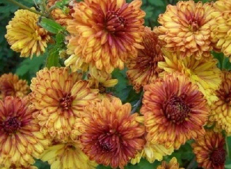 Корейские зимостойкие хризантемы сорта янтарь - описание