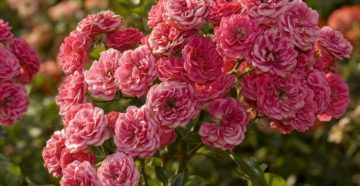 Многолетние кустовые розы для сада: фото и название