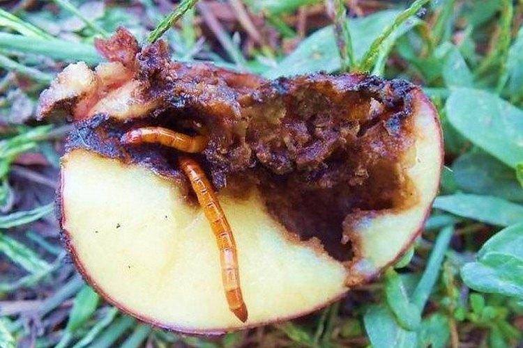 Меры борьбы с проволочником на картофеле осенью