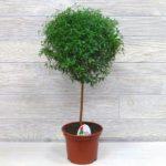 Миртовое дерево: уход в домашних условиях