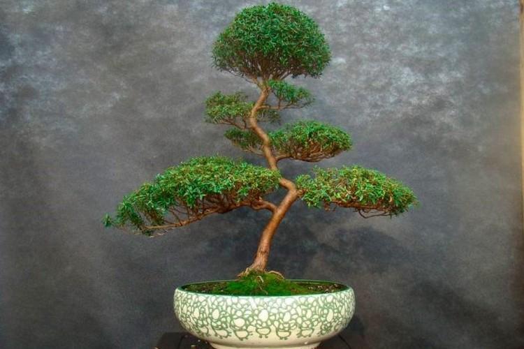 Миртовое дерево (фото) - уход в домашних условиях