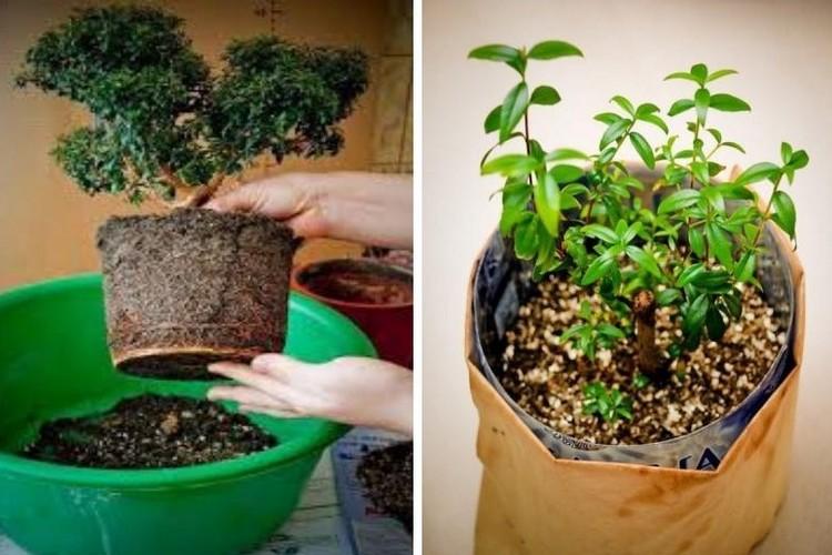Миртовое дерево - уход в домашних условиях