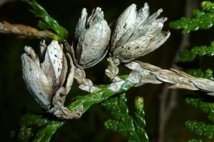 Обработка хвойных весной от болезней и вредителей