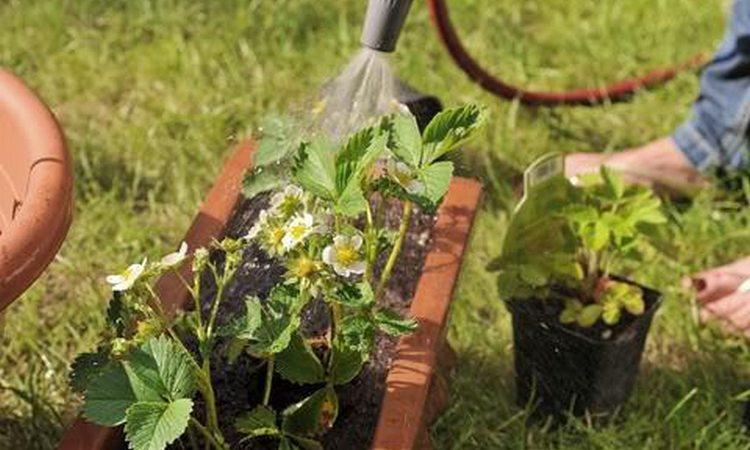 Обработка клубники от вредителей осенью